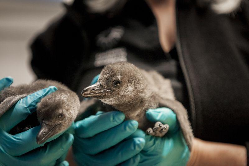 Penguin_Chicks_5
