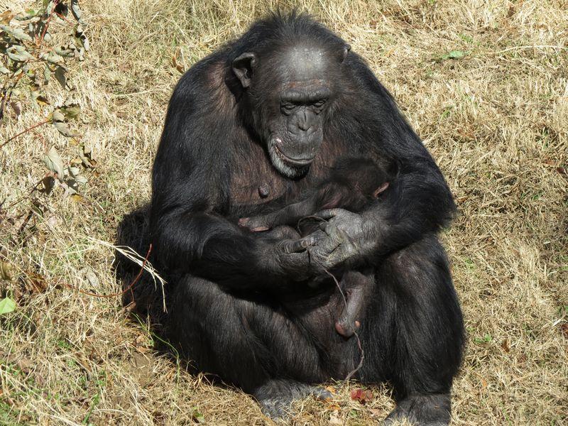 tulsa zoo u0026 39 s chimpanzee troop grows
