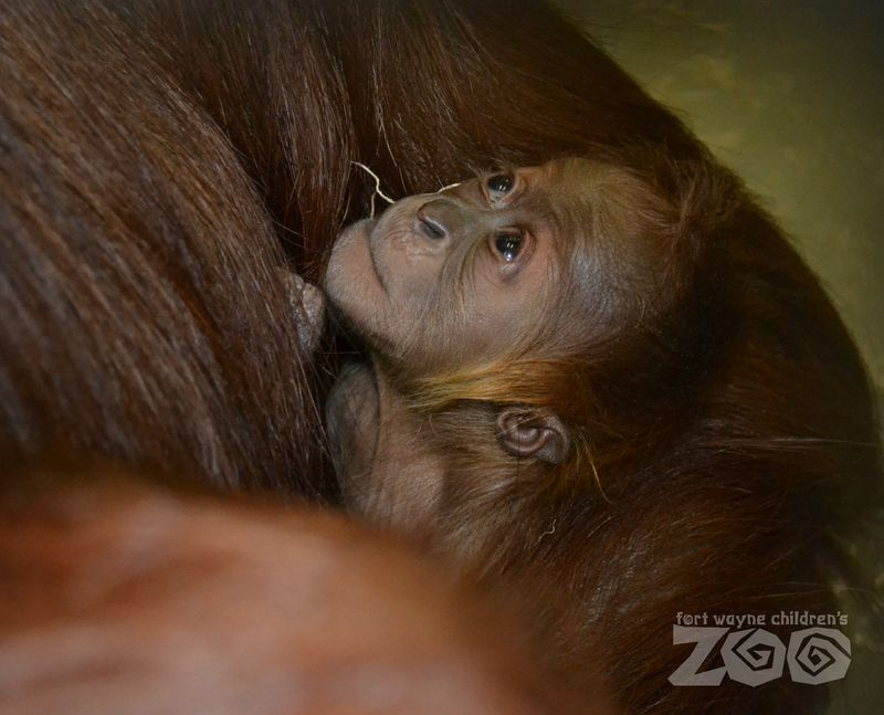 Baby Sumatran Orangutan - 3 days old - Fort Wayne Children's Zoo - Credit Angie Selzer 3