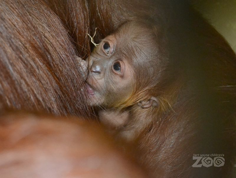 Baby Sumatran Orangutan - 3 days old - Fort Wayne Children's Zoo - credit Angie Selzer 2