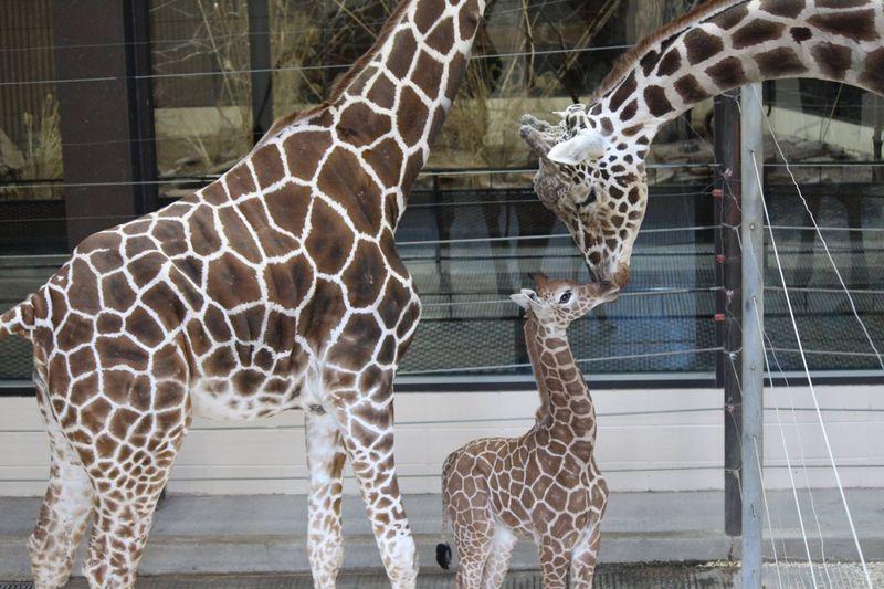 OmahaHenryDoorlyZoo_GiraffeCalf_3