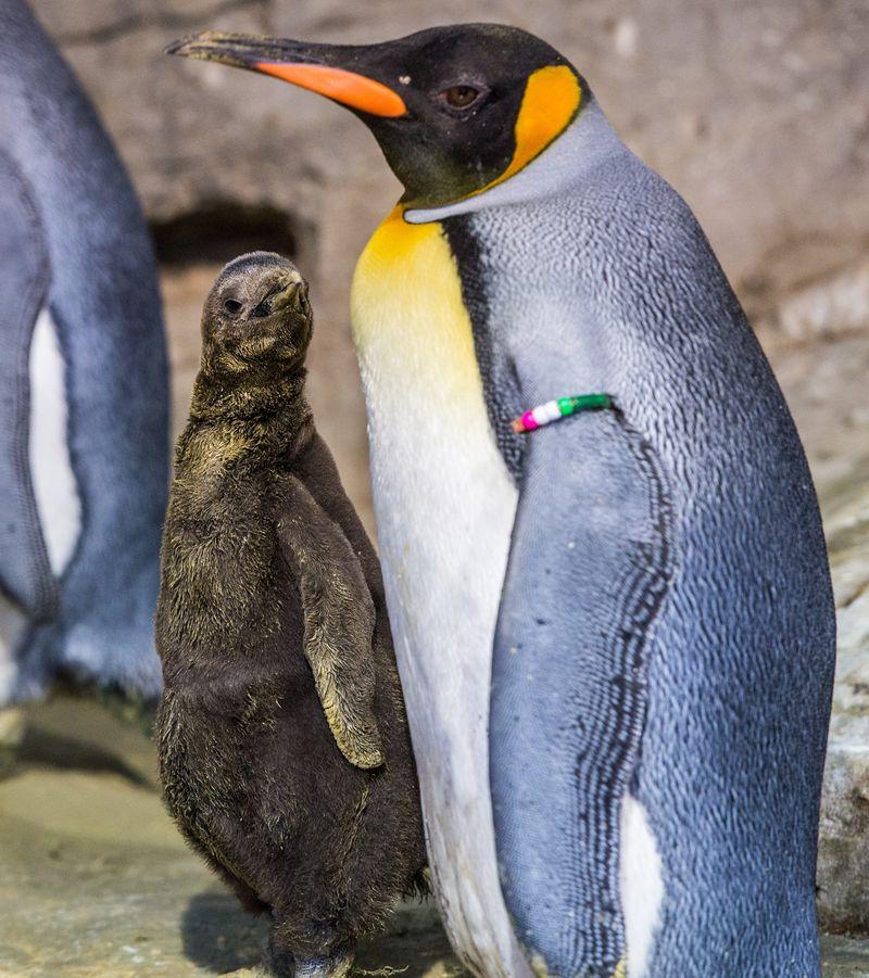 2 penguin