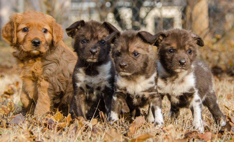 Four pups