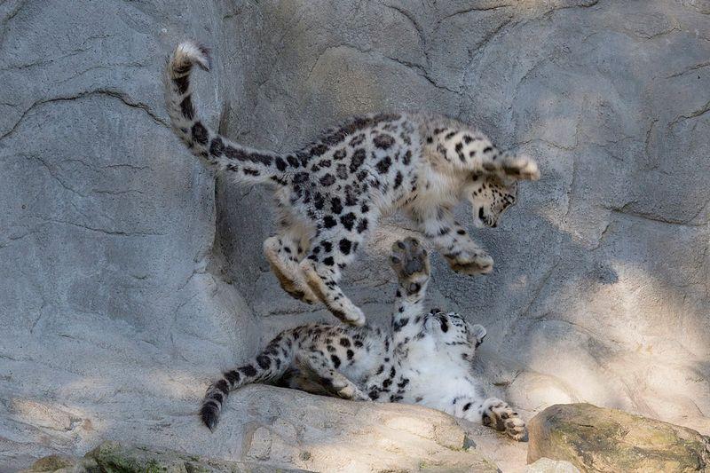 ZooZurich_SnowLeopards_Peter Bolliger_5