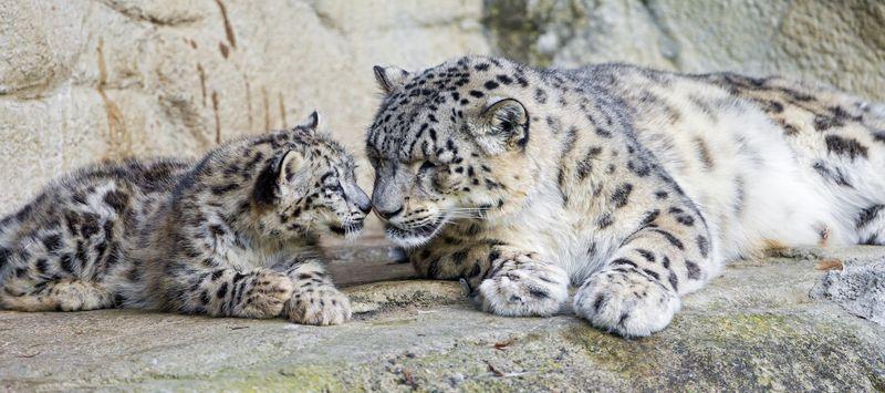 ZooZurich_SnowLeopards_Emmanuel Keller_1