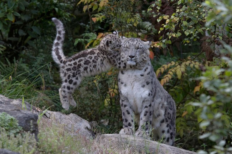 ZooZurich_SnowLeopards_Peter Bolliger_1