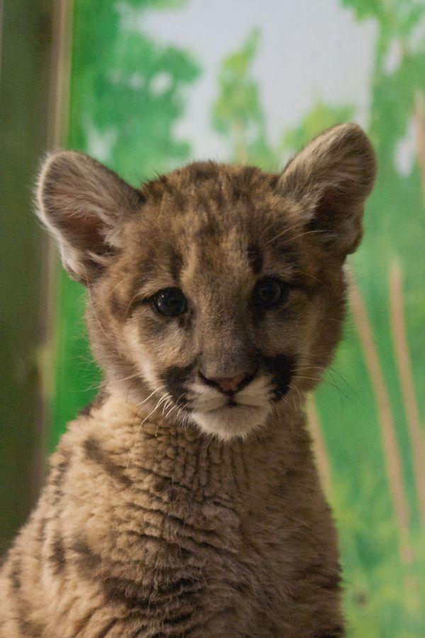 Blue the Cougar Debuts at Stone Zoo