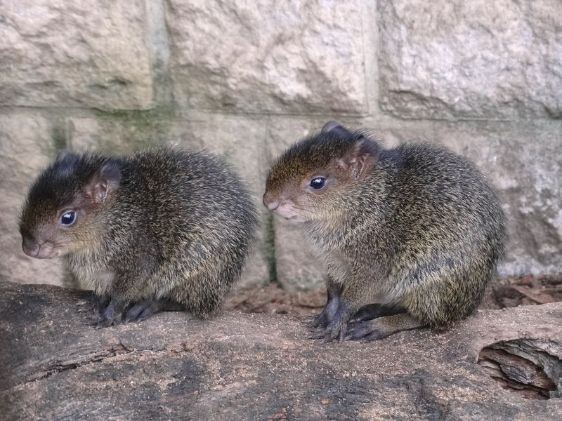 Close up baby Agoutis