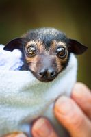 Spectacled Flying-Fox Orphans Receive Special Care