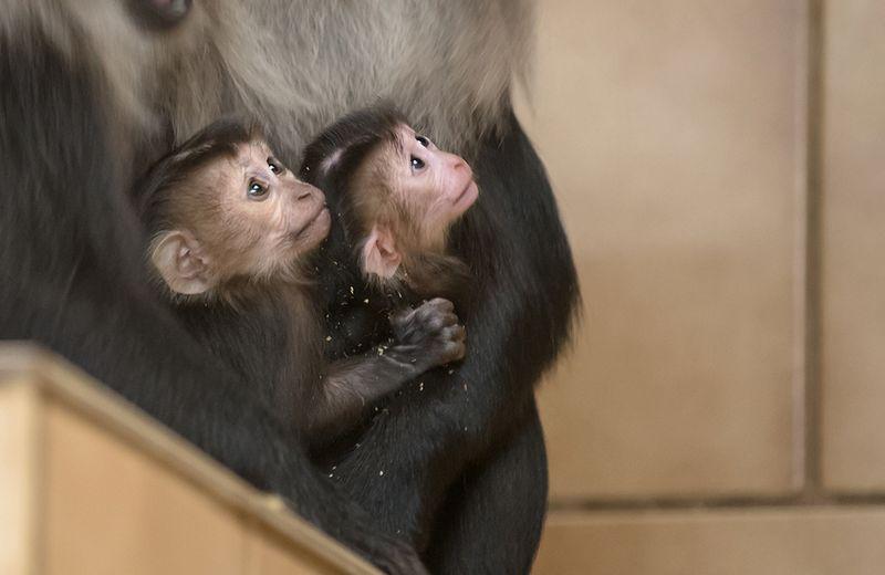 4 macaque
