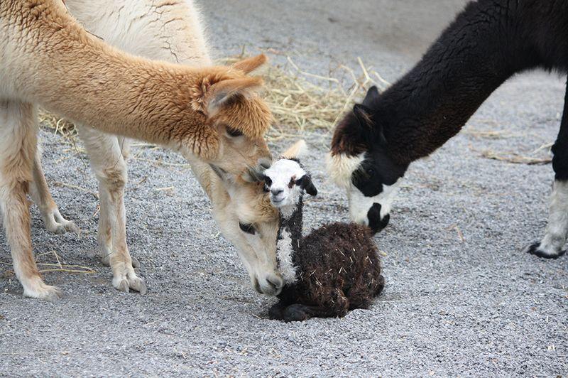 Alpaca Calf w adults sm - Kathleen Gregory