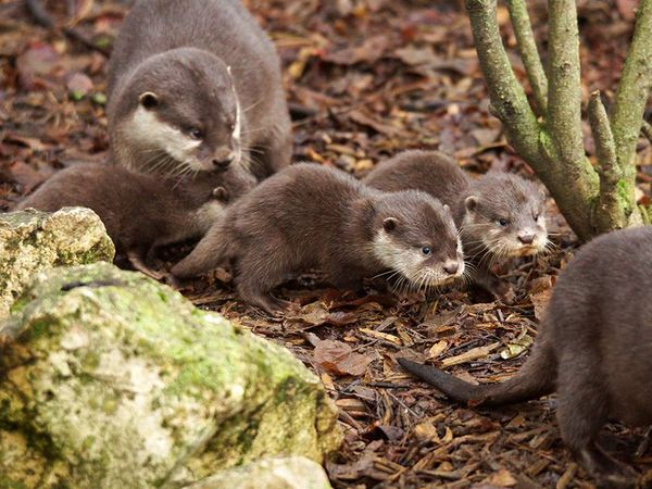 Otter Pups Stick With Mom at Zoo de Beauval