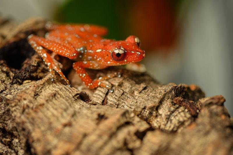 Cinammon frog Nyctixalus pictus (8)