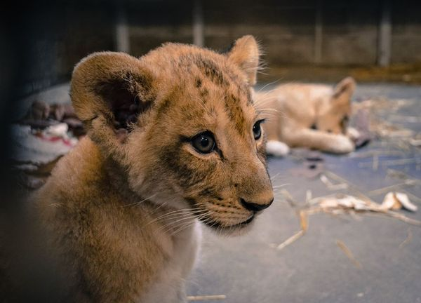 It's a Girl, a Girl, and Another Girl for Cincinnati's Lion Family