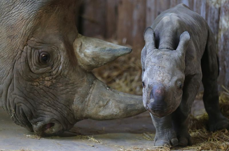 Baby black rhino born at Chester Zoo (1)