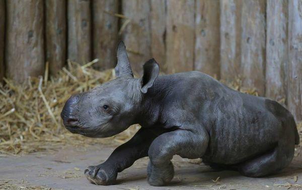Black Rhino Birth Caught on Camera at Chester Zoo