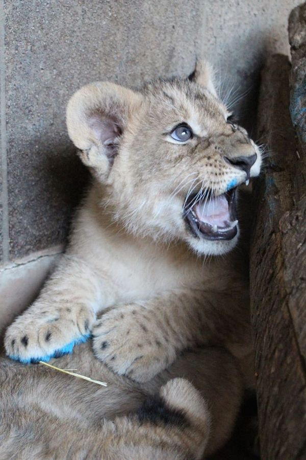 Omaha's Lion Cubs Play All Day
