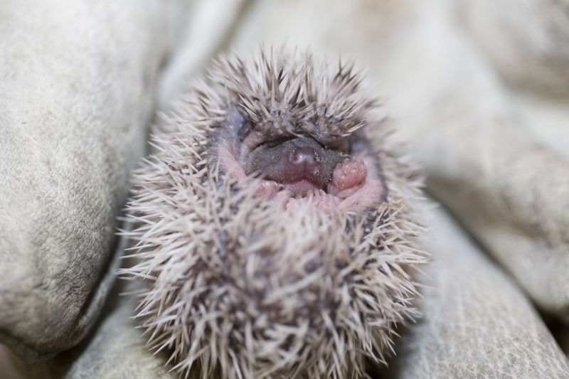 Prickly New Litter at Denver Zoo - ZooBorns
