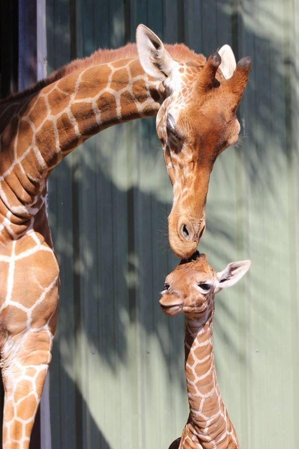 Meet Jacksonville Zoo's Photogenic Giraffe Calf