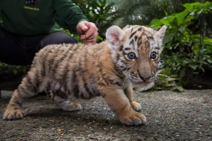 rare tiger cub makes her debut zooborns. Black Bedroom Furniture Sets. Home Design Ideas