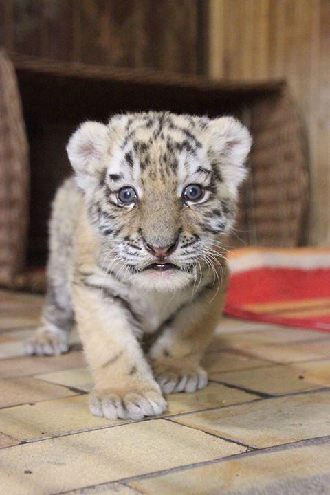 Rare Tiger Cub Makes Her Debut