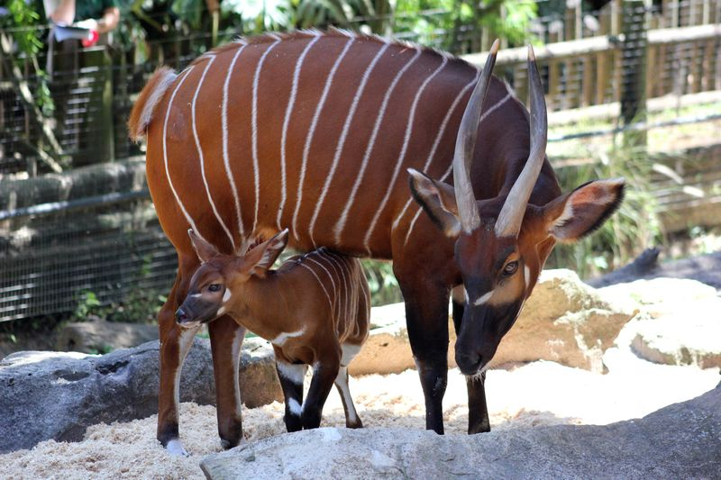 Bongo Calf (8)