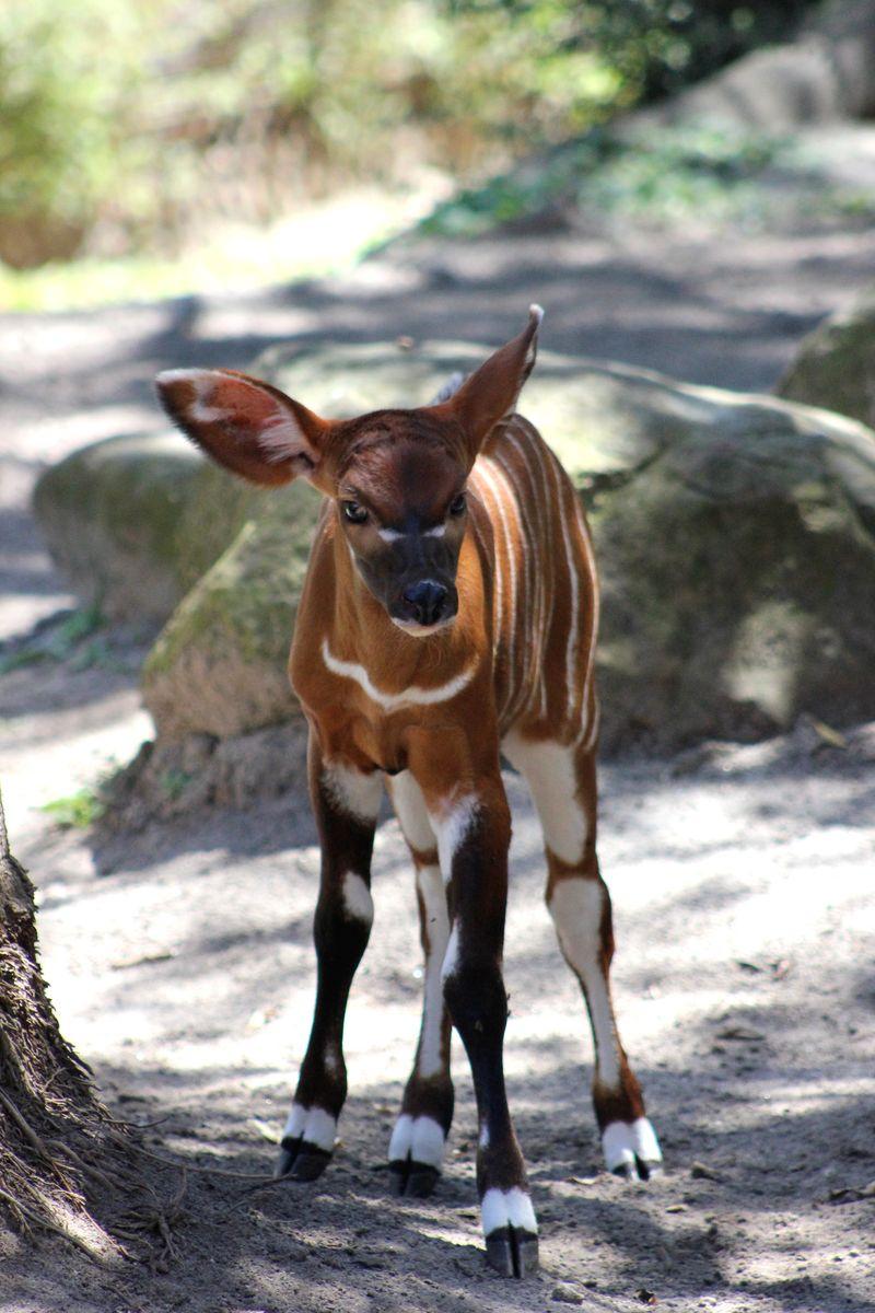 Bongo Calf (4)
