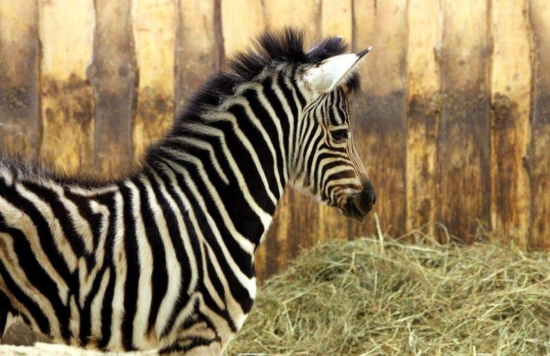 New Zebra Not 'Plain as Black and White'
