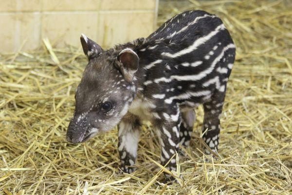 Tapir Calf Makes His Debut