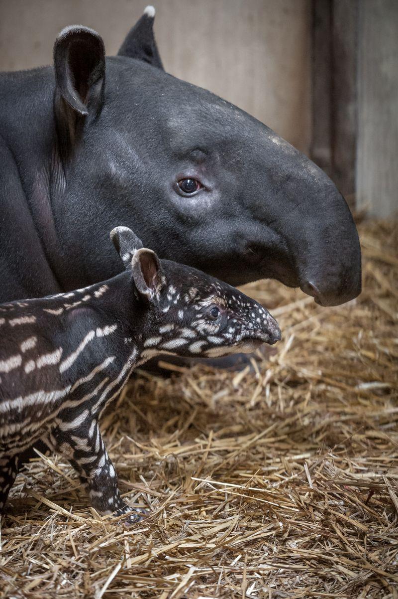 Fotolink_tapirbabyQ (6)