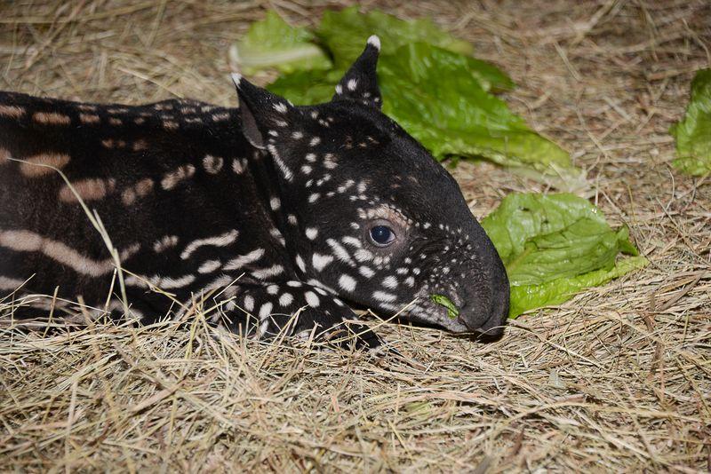 Asia malayan tapir baby 2 feb 6 2015