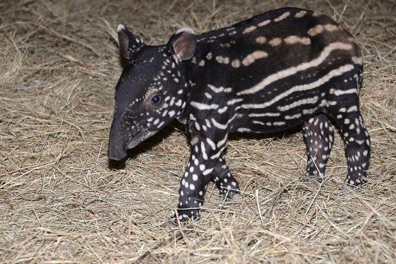 Asia malayan tapir baby feb 6 2015