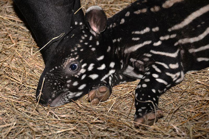 Asia malayan tapir tembikai 5 feb 10 2015