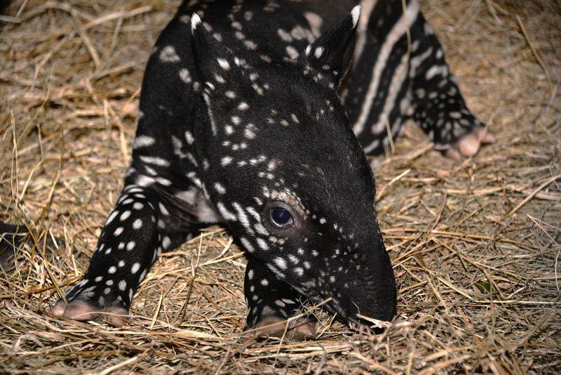 Asia malayan tapir tembikai 2 feb 10 2015
