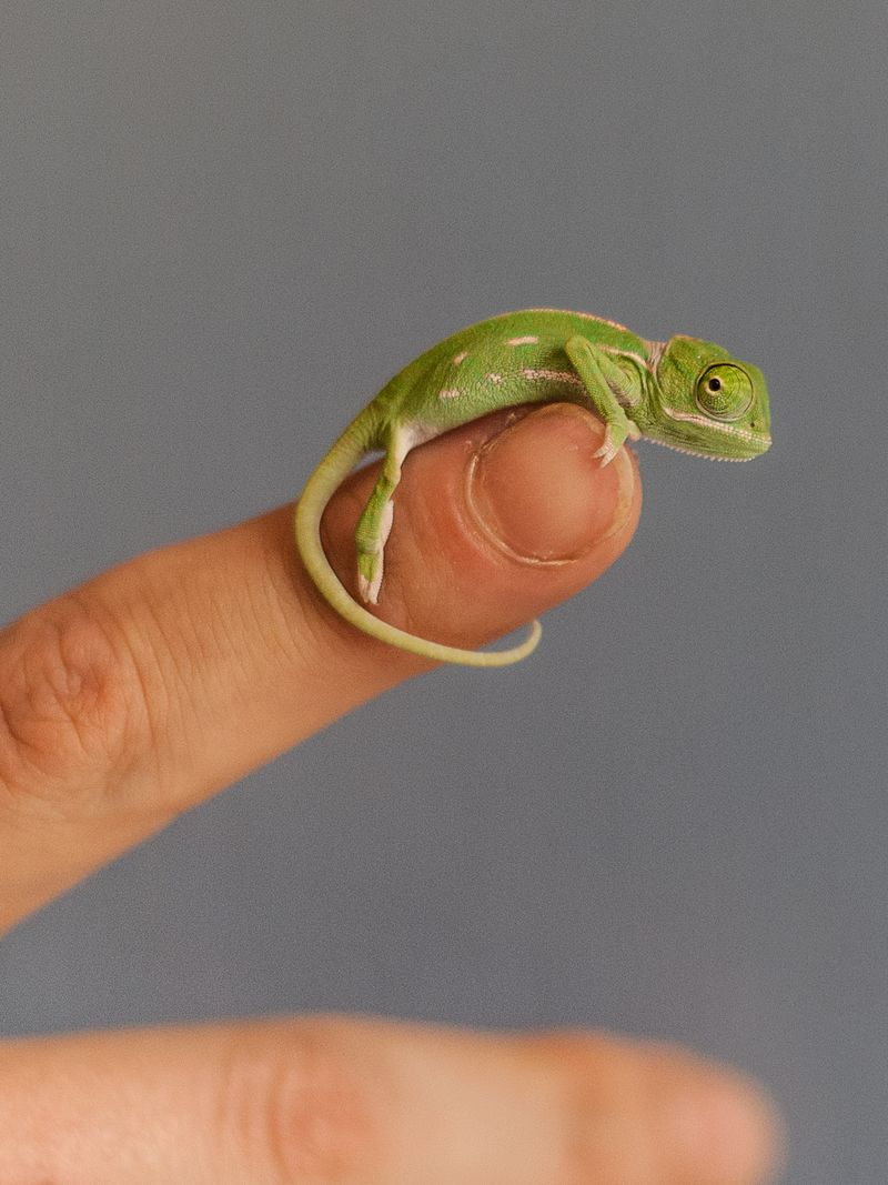 Chameleon_Photo by Lorinda Taylor (6)