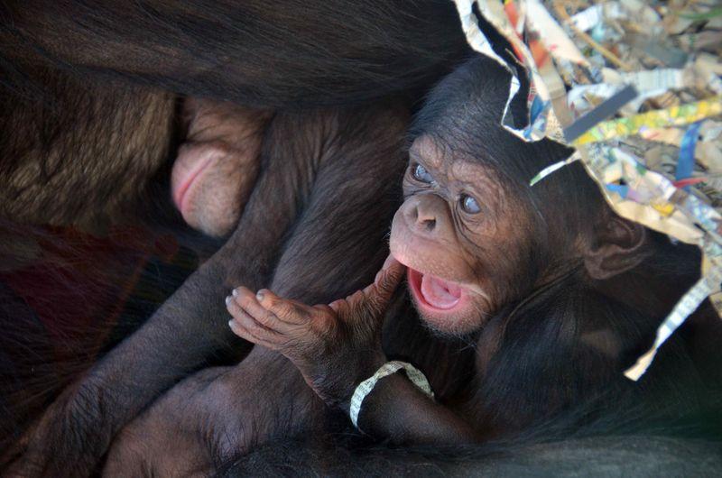 Baby Chimps_4