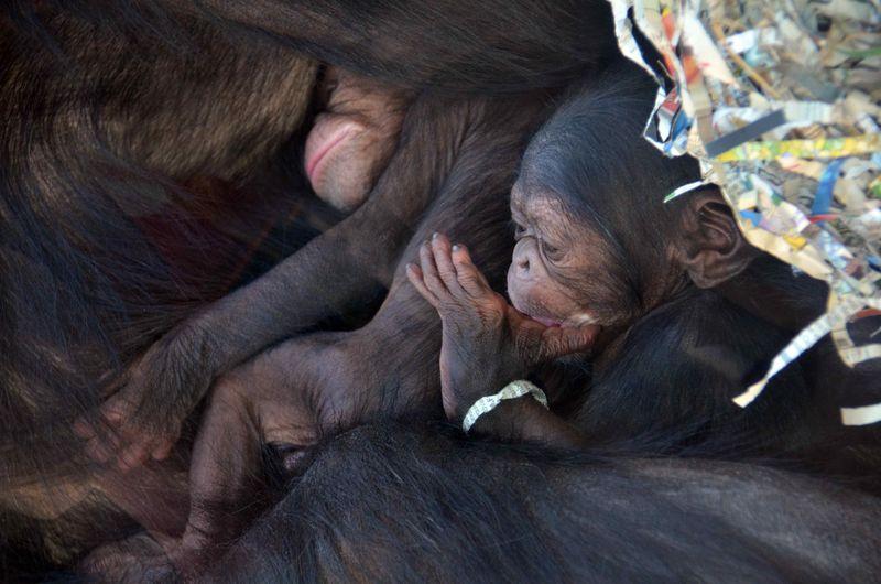 Baby Chimps_3