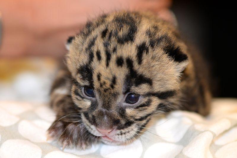 Asia panther cub feeding 2 mar 24 2015