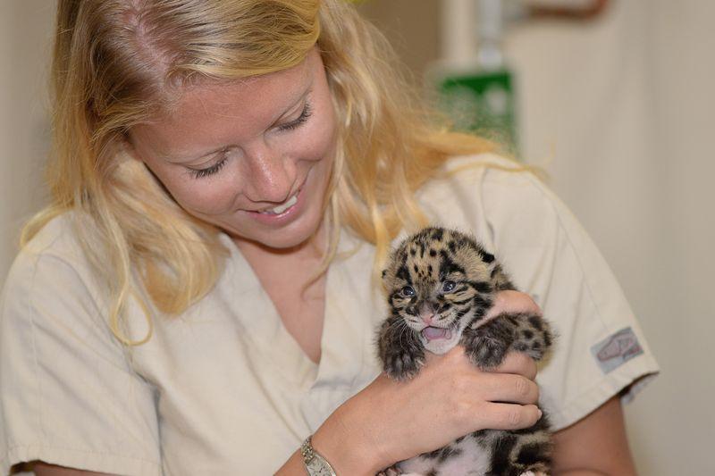 Asia panther cub feeding 4 mar 24 2015