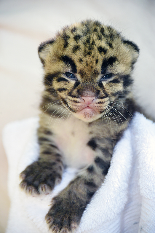 Two Clouded Leopard Kittens See the Miami Sun for the First Time
