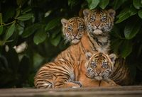 Sumatran Tiger Trio Got Their Stripes...and Names