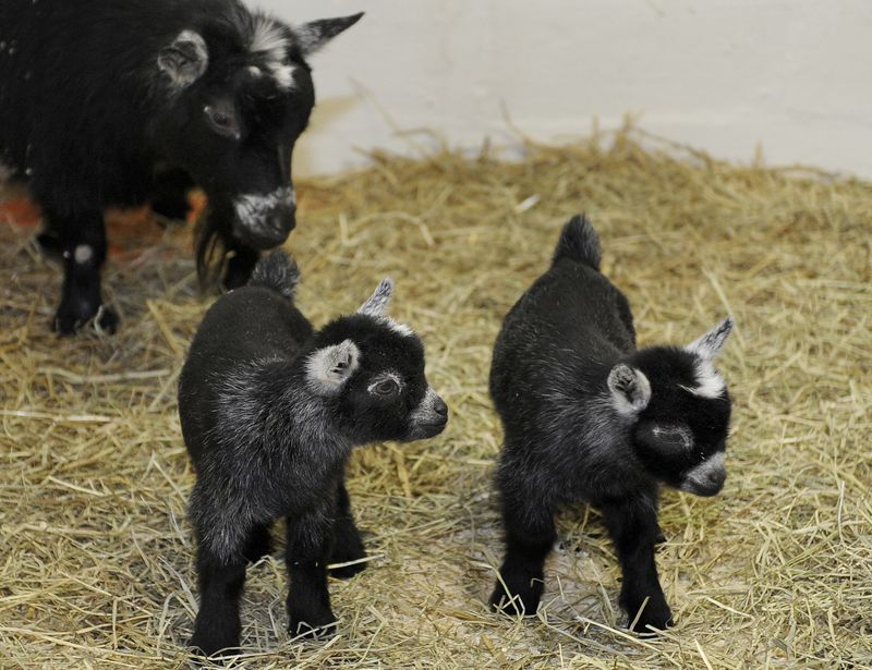 MarylandPygmyGoats_3