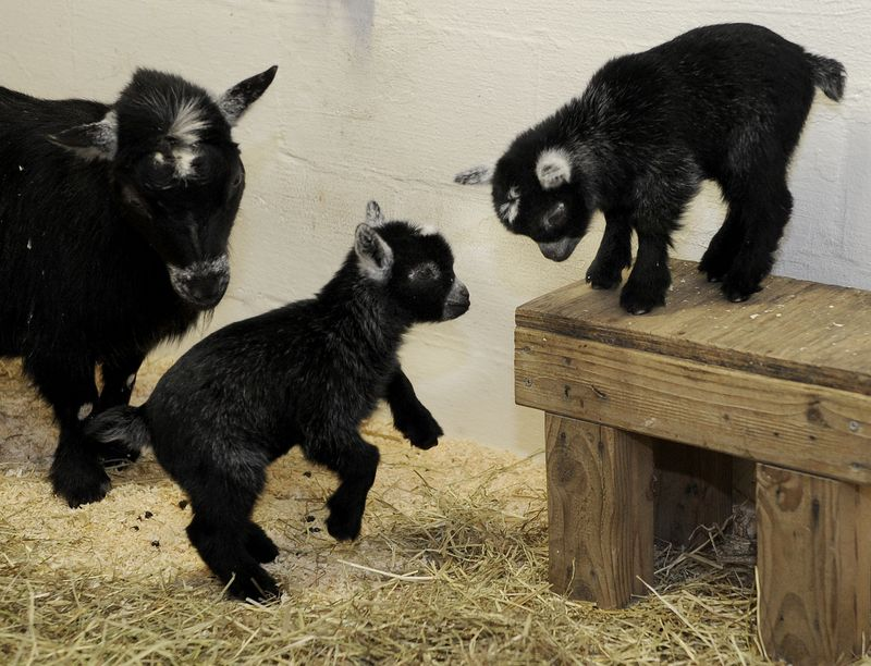 MarylandPygmyGoats_1