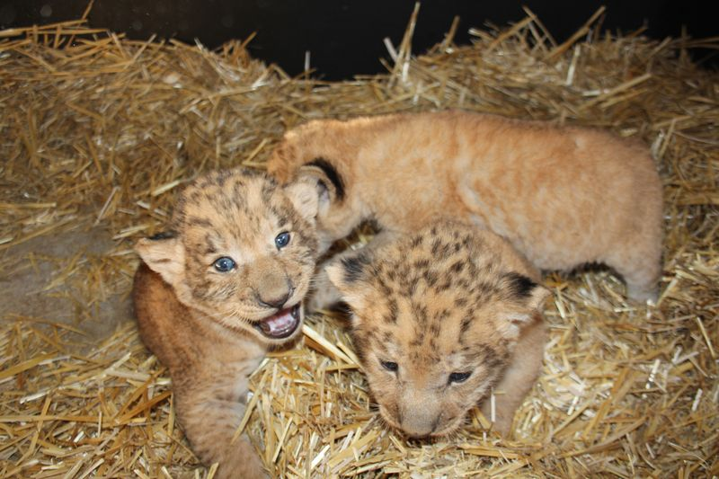 Lion Cubs_20.3.15_Roger Brogan (19)