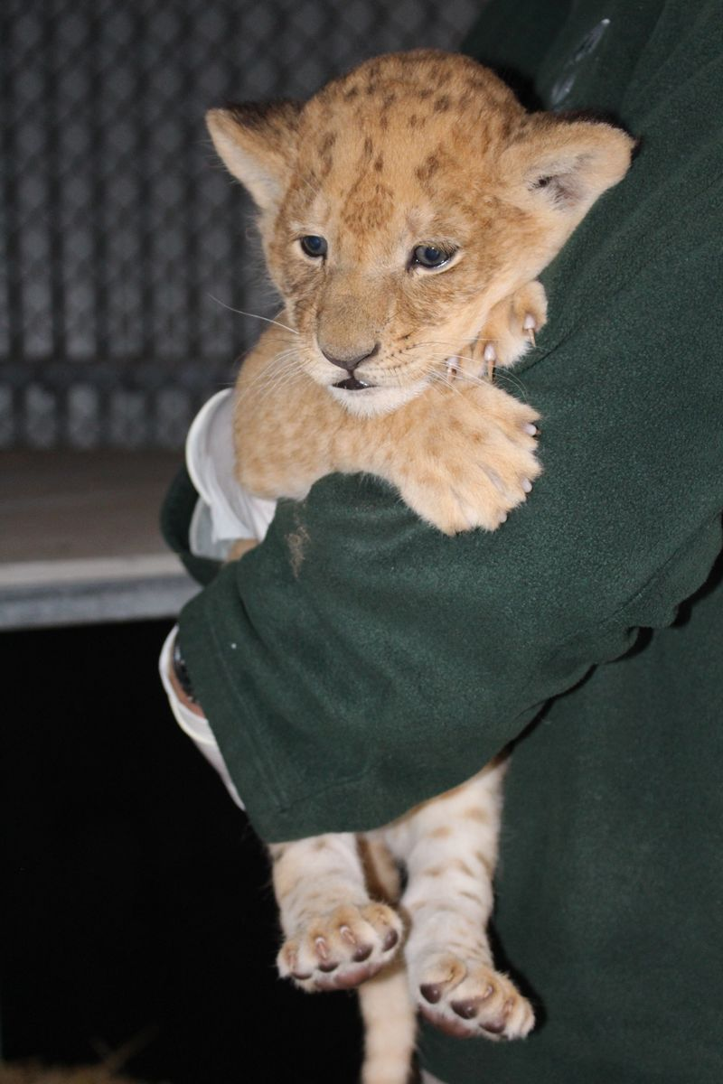 Lion cubs vaccination_SM_7.4.15 (36)