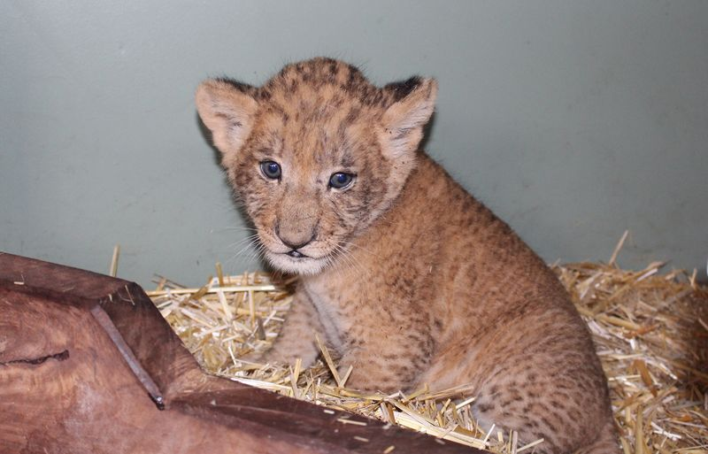 Lion cubs vaccination_SM_7.4.15 (19)