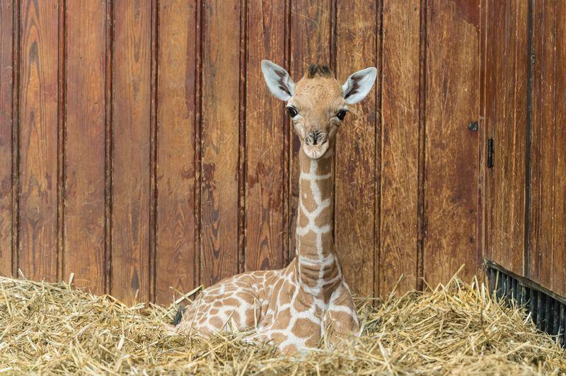 Kordofan_giraffe_majengo_mutter_sophie_ZOB0650
