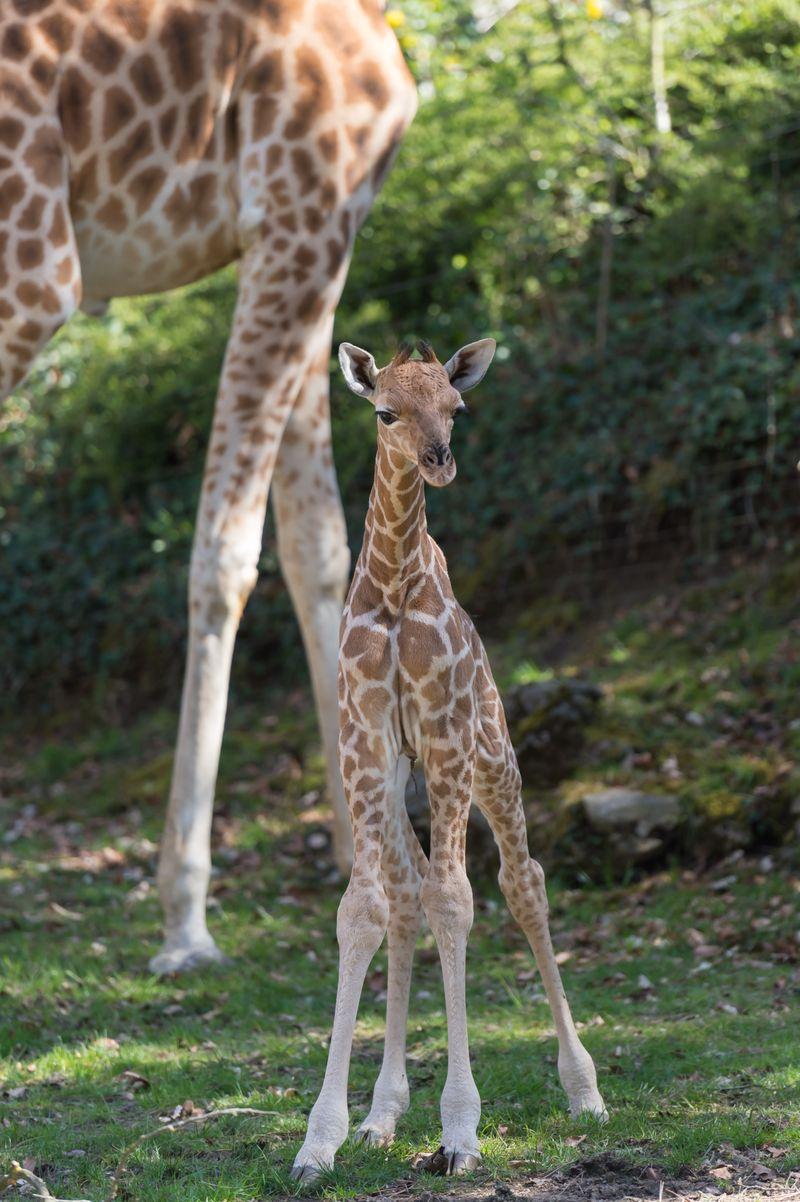 Kordofan_giraffe_majengo_vater_xamburu_ZOB0966