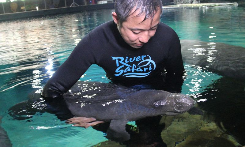 IMG 4 Aquarist Keith So conducts physical check on baby manatee Canola