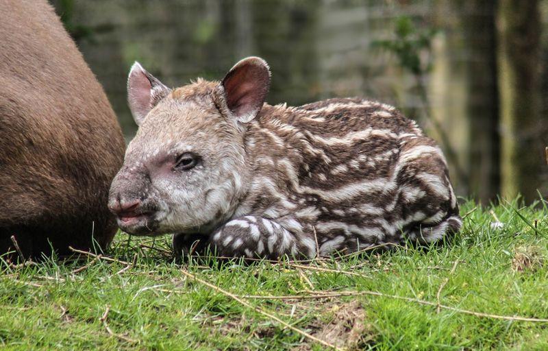 Brazilian Tapir calf photographed at 36 hours old born at Linton Zoo on 11.04.15 with mum Tiana (1)